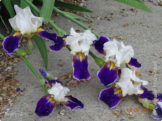 ... Изысканно- волшебные цветы Небесно- голубым огнем в саду пылают. Их нежные воздушные черты Изяществом своим поэтов вдохновляют.  Их листья - словно лезвия меча, Сражают строгостью и совершенством линий. И я стою, взволнованно шепча, Стихи об ирисе среди гвоздик и цинний.  Ты, ирис, - рыцарь голубых кровей, Стоишь один средь лезвий безмятежно, Храня в душе огонь любви своей, Любви таинственной и бесконечно-нежной ...  ( Марьяна ) фото 6