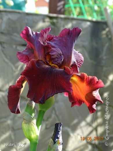 ... Изысканно- волшебные цветы Небесно- голубым огнем в саду пылают. Их нежные воздушные черты Изяществом своим поэтов вдохновляют.  Их листья - словно лезвия меча, Сражают строгостью и совершенством линий. И я стою, взволнованно шепча, Стихи об ирисе среди гвоздик и цинний.  Ты, ирис, - рыцарь голубых кровей, Стоишь один средь лезвий безмятежно, Храня в душе огонь любви своей, Любви таинственной и бесконечно-нежной ...  ( Марьяна ) фото 1