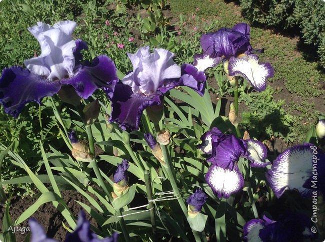 Аквилегия цветут- у меня их много сортов, это махровая. фото 8