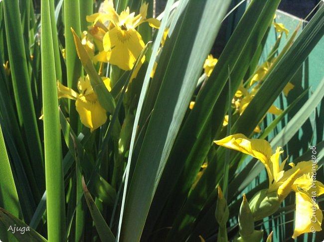 Аквилегия цветут- у меня их много сортов, это махровая. фото 10