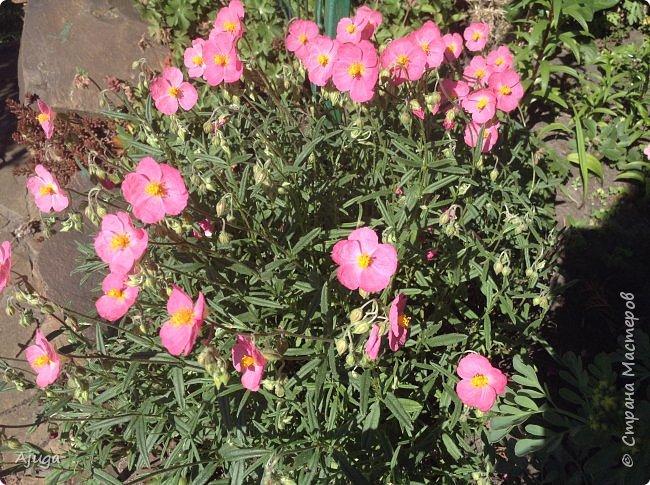Аквилегия цветут- у меня их много сортов, это махровая. фото 13