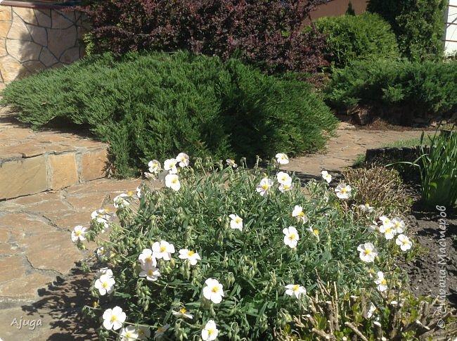 Аквилегия цветут- у меня их много сортов, это махровая. фото 14