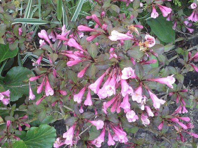 Аквилегия цветут- у меня их много сортов, это махровая. фото 16