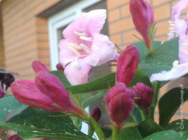 Аквилегия цветут- у меня их много сортов, это махровая. фото 18