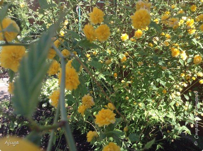 Аквилегия цветут- у меня их много сортов, это махровая. фото 21