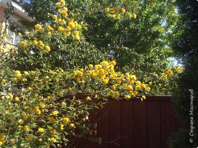 Аквилегия цветут- у меня их много сортов, это махровая. фото 22
