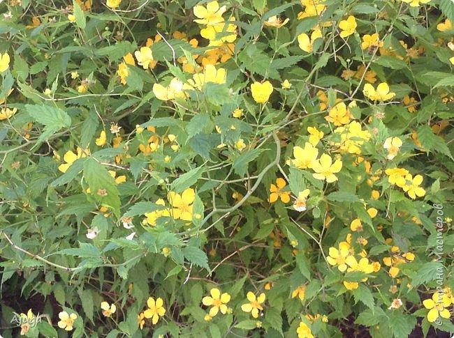 Аквилегия цветут- у меня их много сортов, это махровая. фото 23