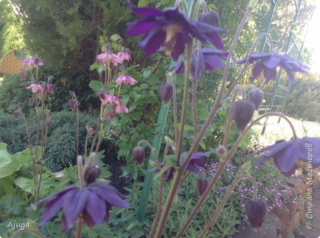 Аквилегия цветут- у меня их много сортов, это махровая. фото 3