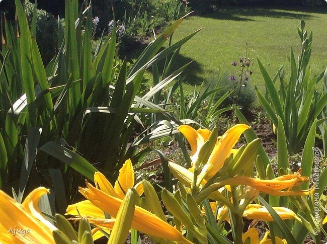 Аквилегия цветут- у меня их много сортов, это махровая. фото 24