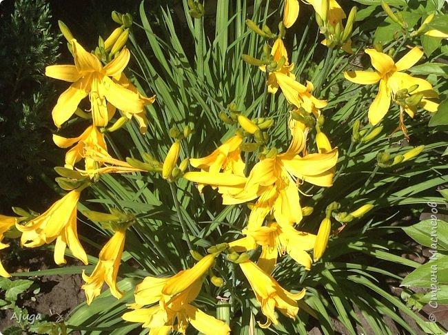 Аквилегия цветут- у меня их много сортов, это махровая. фото 25