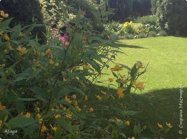 Аквилегия цветут- у меня их много сортов, это махровая. фото 27
