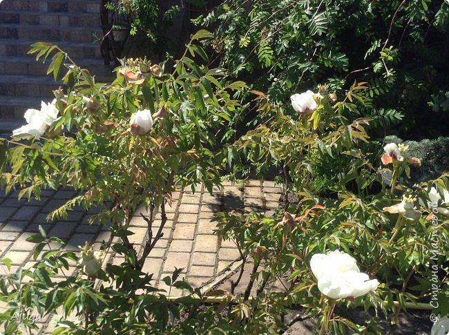 Аквилегия цветут- у меня их много сортов, это махровая. фото 28