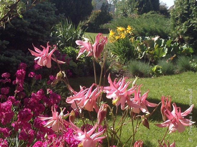 Аквилегия цветут- у меня их много сортов, это махровая. фото 4
