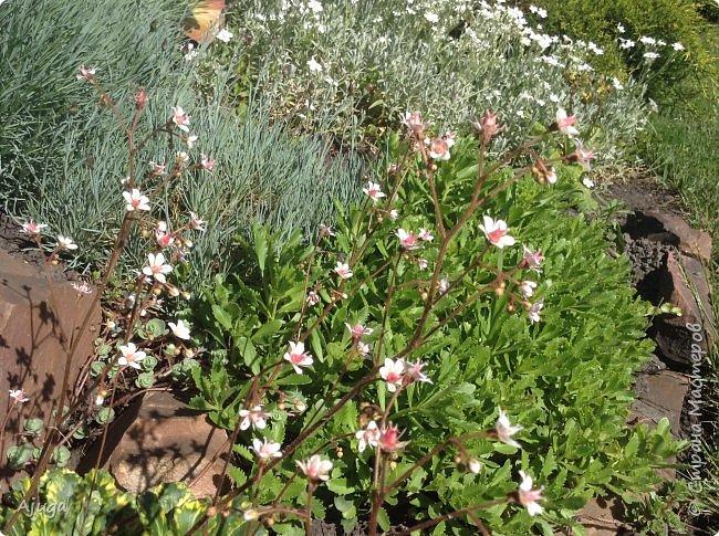 Аквилегия цветут- у меня их много сортов, это махровая. фото 30