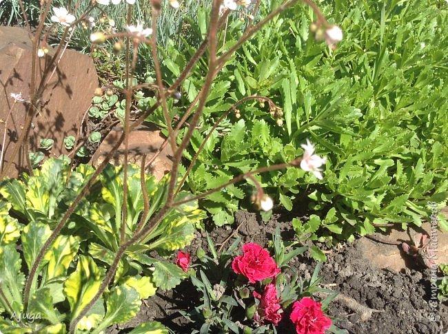 Аквилегия цветут- у меня их много сортов, это махровая. фото 32