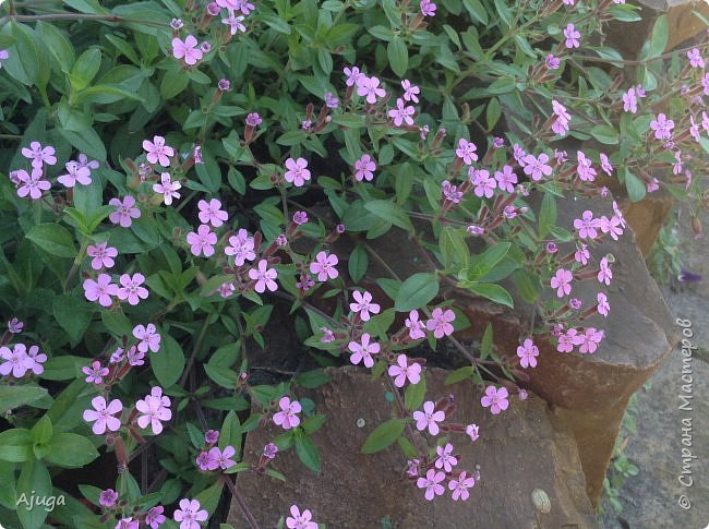 Аквилегия цветут- у меня их много сортов, это махровая. фото 38
