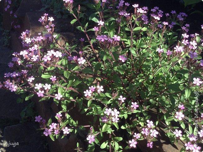 Аквилегия цветут- у меня их много сортов, это махровая. фото 39