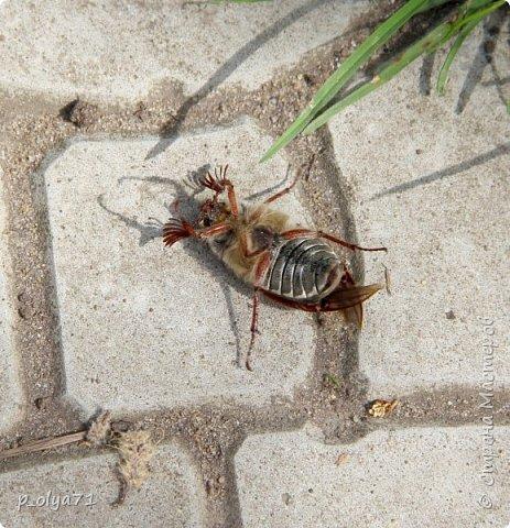 Здравствуйте!!!! У нас потеплело)) Сегодня - так вообще жара))) Вчера на дорожке около дома мне попался майский жук) сходила домой за фотиком,нафоткала не только жука)) Фото 23.05.17 фото 2