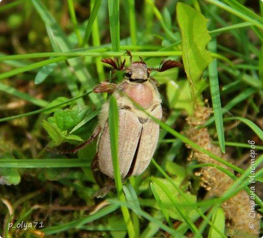 Здравствуйте!!!! У нас потеплело)) Сегодня - так вообще жара))) Вчера на дорожке около дома мне попался майский жук) сходила домой за фотиком,нафоткала не только жука)) Фото 23.05.17 фото 5