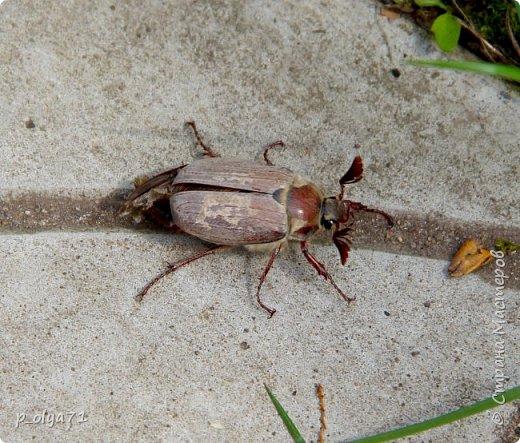 Здравствуйте!!!! У нас потеплело)) Сегодня - так вообще жара))) Вчера на дорожке около дома мне попался майский жук) сходила домой за фотиком,нафоткала не только жука)) Фото 23.05.17 фото 3