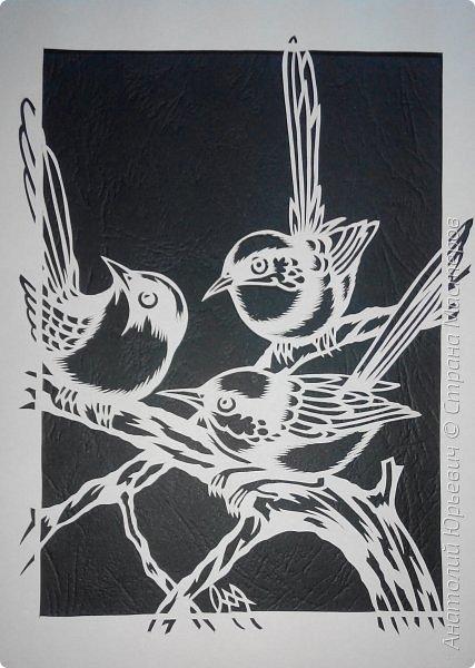 """Всем доброго времени суток! Вашему вниманию новая открытка с птичками. - Блестящий расписной малюр (лат. Malurus splendens) — птица из семейства малюровых. Встречается на большей части Австралии от центральной части западного Нового Южного Уэльса до юго-запада Квинсленда по всему побережью Западной Австралии. - Среда обитания птицы простирается от леса, до пустынных кустов обычно с достаточным количеством растительных укрытий. Питается, в основном, насекомыми и семенами. - Эскиз для """"вырезалки"""" выполнен, изменён и доработан по цветной работе австралийского художника анималиста Eric shepherd. (В оригинале - четыре птички, у меня - три, четвёртая """"физически"""" не влезла)) - Размер открытки 12х16см. фото 5"""