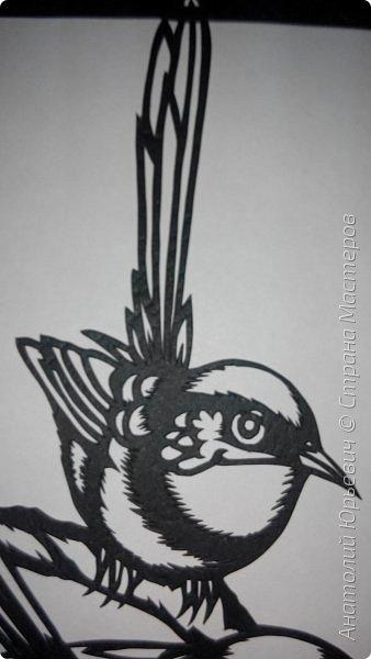 """Всем доброго времени суток! Вашему вниманию новая открытка с птичками. - Блестящий расписной малюр (лат. Malurus splendens) — птица из семейства малюровых. Встречается на большей части Австралии от центральной части западного Нового Южного Уэльса до юго-запада Квинсленда по всему побережью Западной Австралии. - Среда обитания птицы простирается от леса, до пустынных кустов обычно с достаточным количеством растительных укрытий. Питается, в основном, насекомыми и семенами. - Эскиз для """"вырезалки"""" выполнен, изменён и доработан по цветной работе австралийского художника анималиста Eric shepherd. (В оригинале - четыре птички, у меня - три, четвёртая """"физически"""" не влезла)) - Размер открытки 12х16см. фото 7"""
