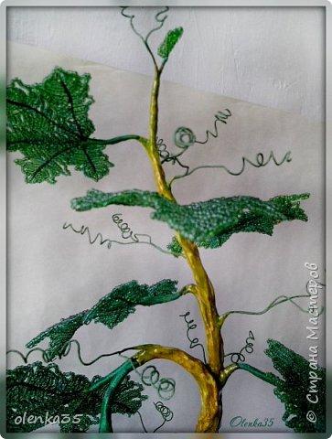 Виноградное дерево фото 4