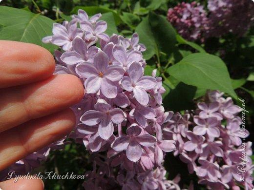 Приглашаю всех полюбоваться цветением сирени на празднике в нашем городе фото 13