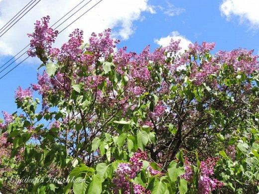 Приглашаю всех полюбоваться цветением сирени на празднике в нашем городе фото 15