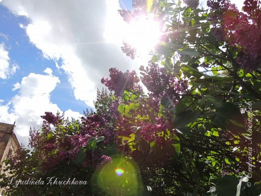 Приглашаю всех полюбоваться цветением сирени на празднике в нашем городе фото 21