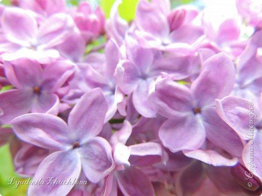 Приглашаю всех полюбоваться цветением сирени на празднике в нашем городе фото 31