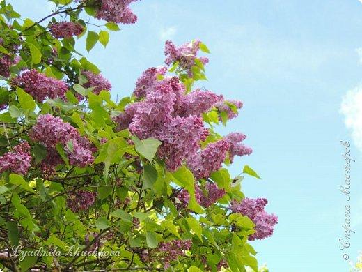 Приглашаю всех полюбоваться цветением сирени на празднике в нашем городе фото 32