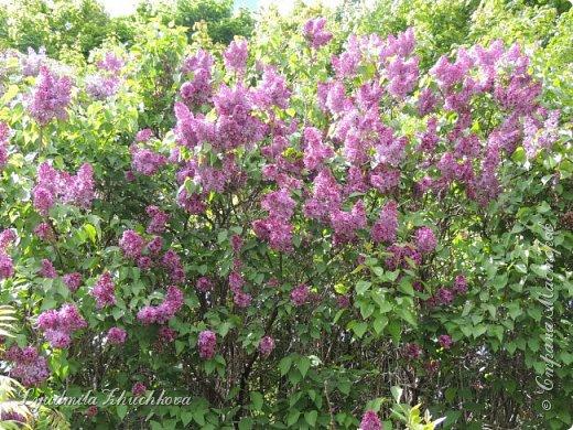 Приглашаю всех полюбоваться цветением сирени на празднике в нашем городе фото 35