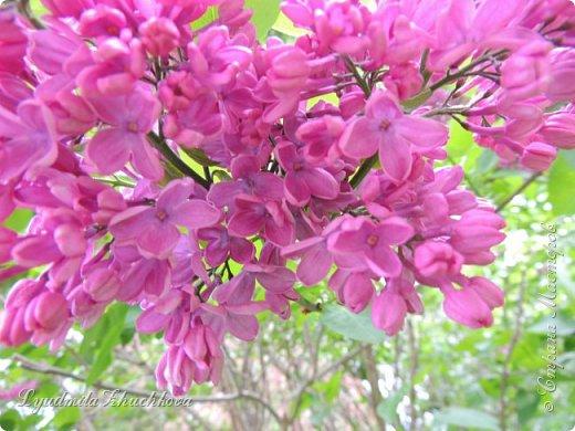 Приглашаю всех полюбоваться цветением сирени на празднике в нашем городе фото 53