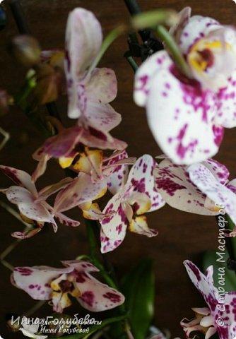 Привет, всем жителям чудесной страны. Я сегодня к вам вот с такой орхидеей. По тонировке бабочки, бутонов и самого цветочка я отсняла видео- мастер классы, которые вы можете посмотреть на моём канале на ютубе или на моей странице в контакте. Лепила и тонировала с живого цветочка. На некоторых фото моя орхидея с живым образцом. фото 9