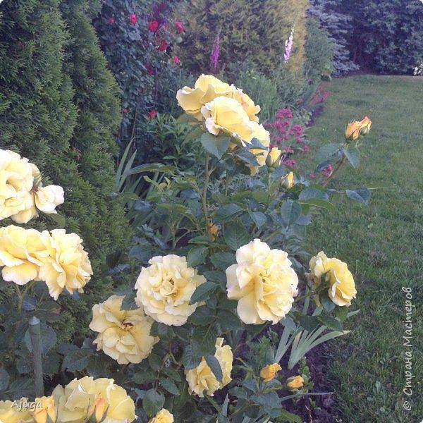 Мой сад сегодня... фото 4