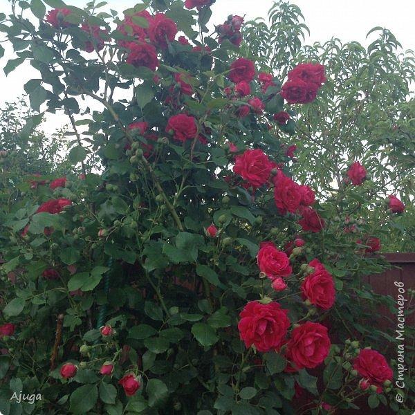 Мой сад сегодня... фото 5