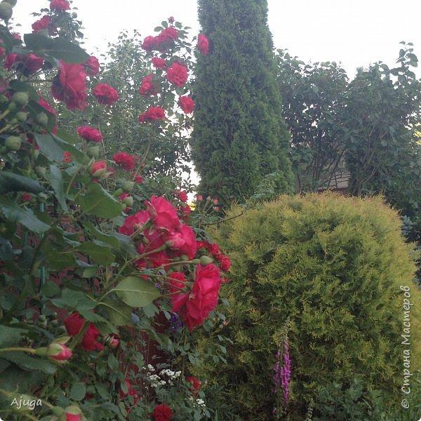 Мой сад сегодня... фото 6
