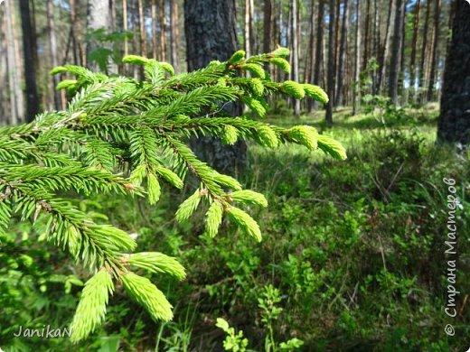 """Весной и ранним летом в лесу можно любоваться ярко зелеными """"шишечками"""" ростками ели. Гуляя в лесу люблю их иногда погрызть просто так за их интересный хвойно -кисловатый вкус, а еще я их собираю и делаю всякую вкуснятину и еще в них очень много витаминов  фото 1"""