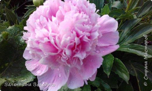 Добрый вечер мастера и мастерицы!!!!Вот такой букет роз слепила для себя любимой,а то сапожник без сапог,в доме не осталось ни одной розы. фото 7
