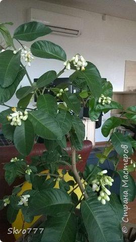 Цветы лимона домашнего фото 2