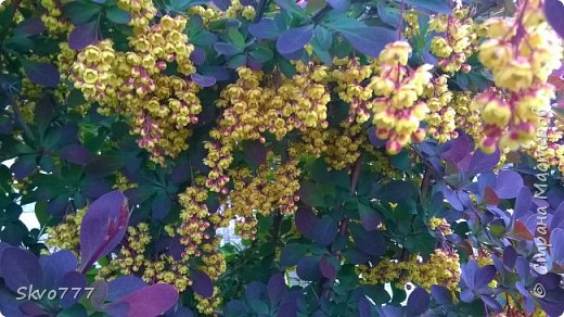 Цветы лимона домашнего фото 16