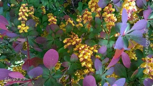 Цветы лимона домашнего фото 17