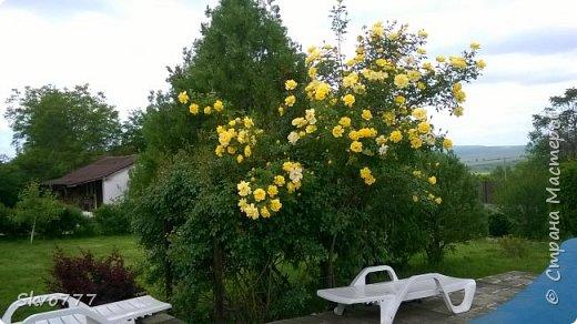 Цветы лимона домашнего фото 41