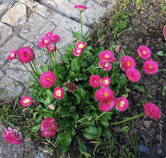 Приветствую вас, жители Страны!  Интересное явление обнаружилось сегодня...  Удаляла сорняки вокруг любимой маргаритки (а любимая - потому что - дочка Рита),  и на одном цветочке обнаружилось это чудо -- (см. след. фото)  фото 4