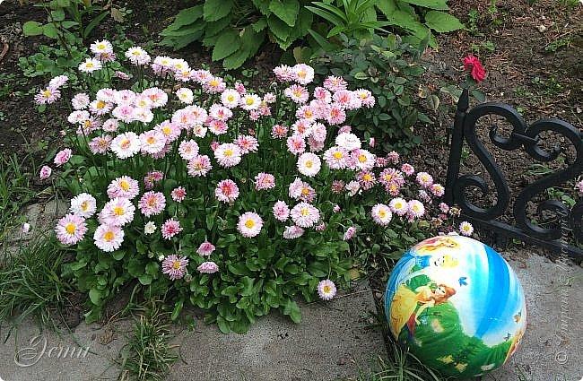 Приветствую вас, жители Страны!  Интересное явление обнаружилось сегодня...  Удаляла сорняки вокруг любимой маргаритки (а любимая - потому что - дочка Рита),  и на одном цветочке обнаружилось это чудо -- (см. след. фото)  фото 5