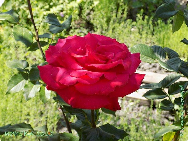 Приветствую всех гостей моей странички!!! Не зря говорят, что роза королева цветов и царица ароматов! У нас на даче море цветов, а особенно мамочка любит розы, кусты роз рассажены по всей даче и они такие разнообразные и безумно красивые. В эти выходные мы были на даче, а там такие чудесные розы, что мне очень захотелось с вами поделиться. Дальше будет много фото. Приятного просмотра!!! фото 2