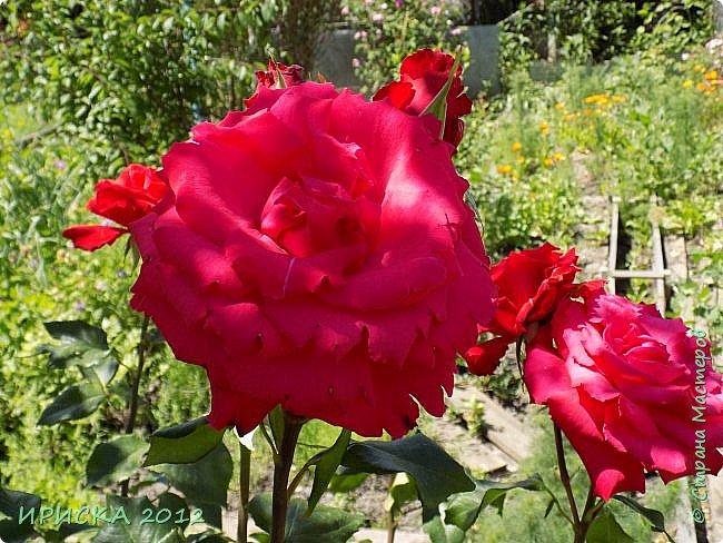 Приветствую всех гостей моей странички!!! Не зря говорят, что роза королева цветов и царица ароматов! У нас на даче море цветов, а особенно мамочка любит розы, кусты роз рассажены по всей даче и они такие разнообразные и безумно красивые. В эти выходные мы были на даче, а там такие чудесные розы, что мне очень захотелось с вами поделиться. Дальше будет много фото. Приятного просмотра!!! фото 3