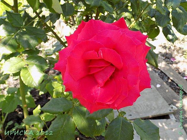 Приветствую всех гостей моей странички!!! Не зря говорят, что роза королева цветов и царица ароматов! У нас на даче море цветов, а особенно мамочка любит розы, кусты роз рассажены по всей даче и они такие разнообразные и безумно красивые. В эти выходные мы были на даче, а там такие чудесные розы, что мне очень захотелось с вами поделиться. Дальше будет много фото. Приятного просмотра!!! фото 5