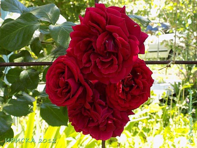 Приветствую всех гостей моей странички!!! Не зря говорят, что роза королева цветов и царица ароматов! У нас на даче море цветов, а особенно мамочка любит розы, кусты роз рассажены по всей даче и они такие разнообразные и безумно красивые. В эти выходные мы были на даче, а там такие чудесные розы, что мне очень захотелось с вами поделиться. Дальше будет много фото. Приятного просмотра!!! фото 6